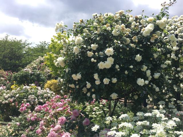 薔薇の季節_1_3