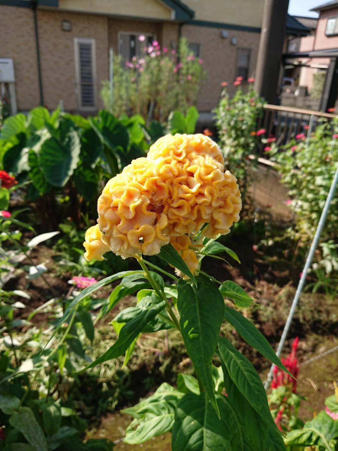 お花も育てています ケイトウの花も綺麗に