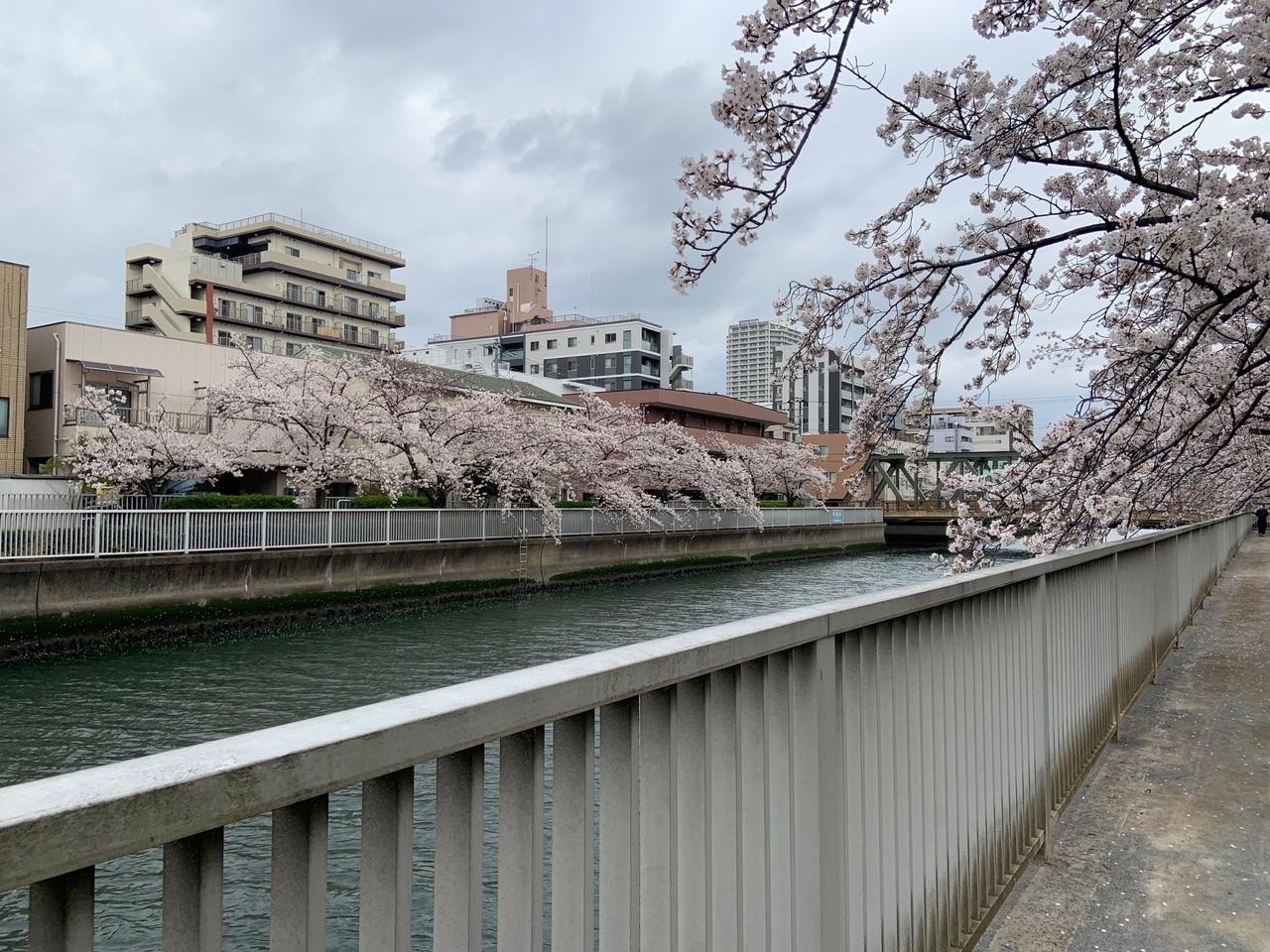 清澄白河の桜_1_1-1