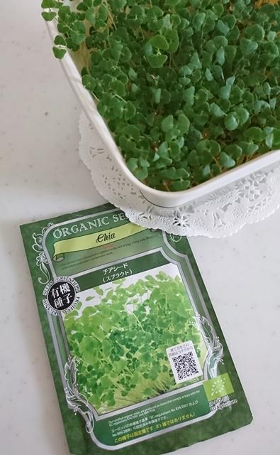 キッチンで育ているオーガニック種子のチアシードスプラウト