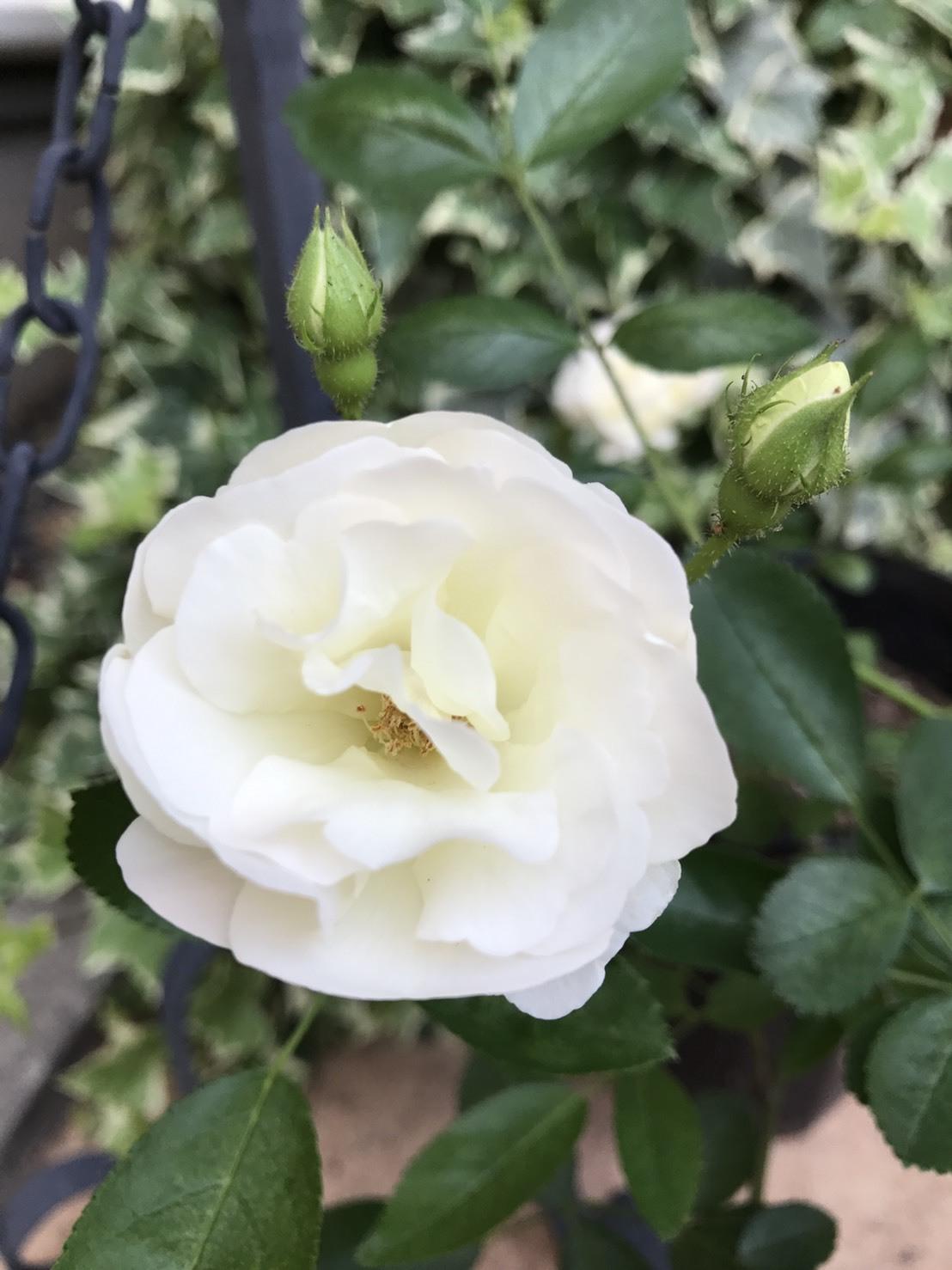 バラが咲いた_1_1