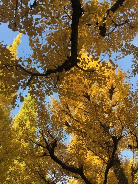 銀杏が色づく外苑の並木でお散歩♡_1_1