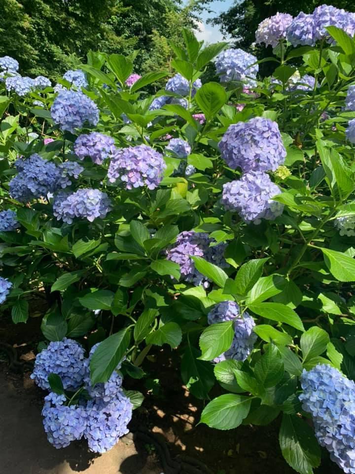 近所で小旅行気分になれる朝いちばんの紫陽花寺散歩_1_3-1