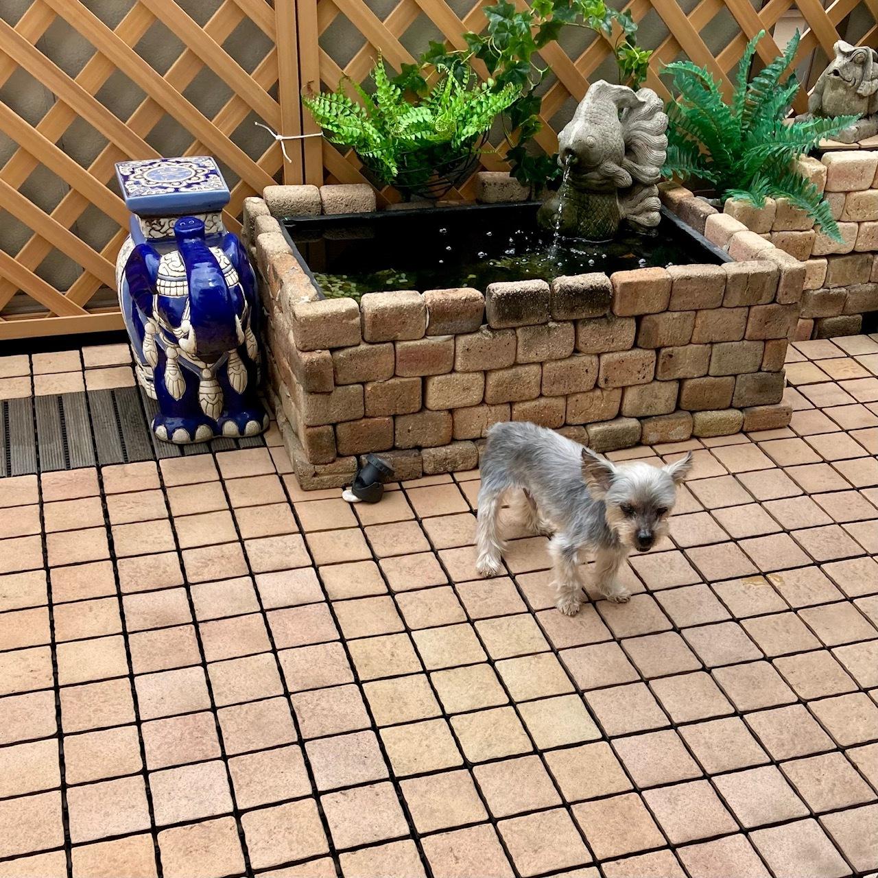 バルコニーを歩く小型犬