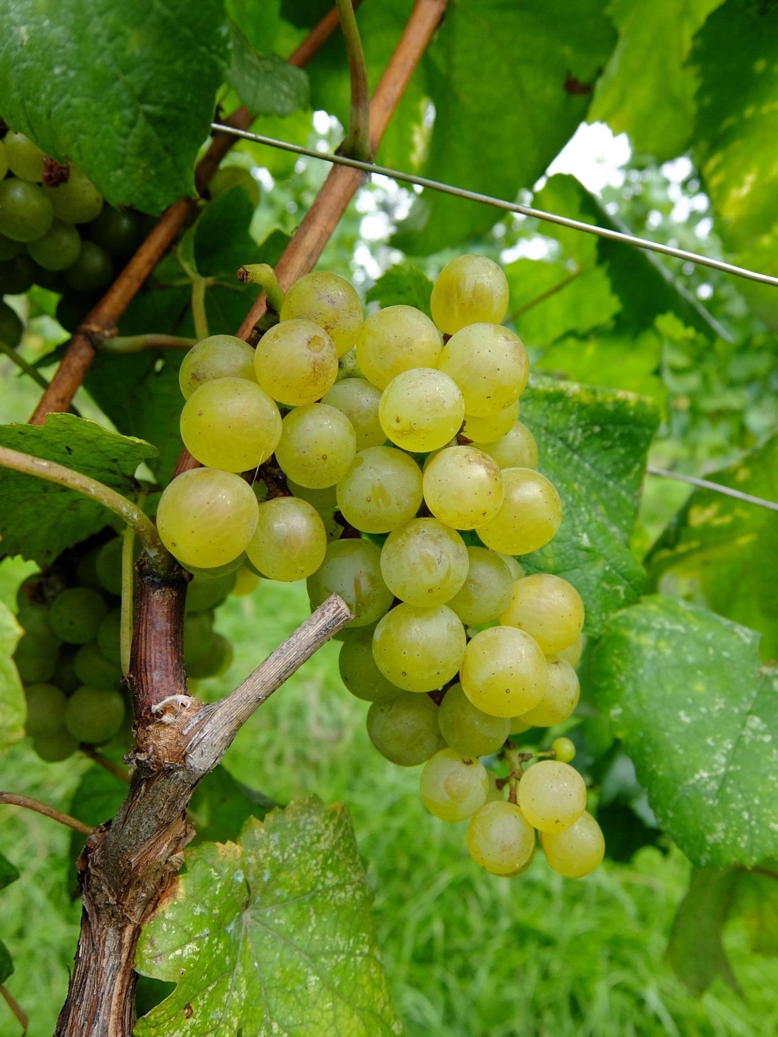 オリジナルワインを造る①_1_3