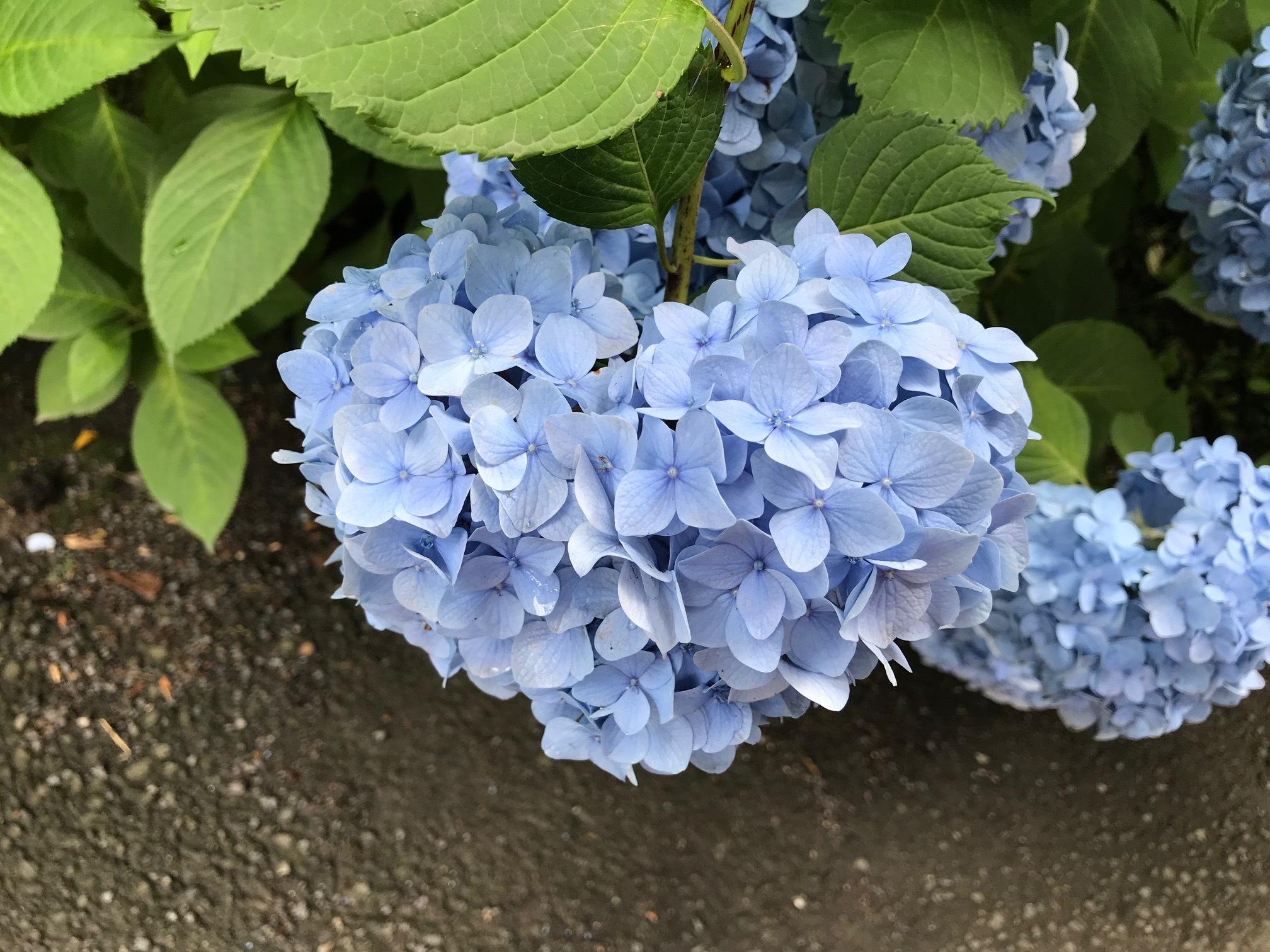 【鎌倉】紫陽花と観光名所_1_2-2