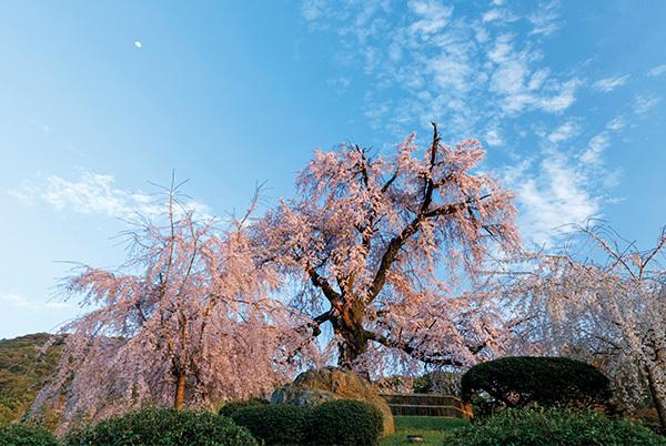 """一生に一度は愛でたい、京都の""""名桜""""【「京都」桜にまつわる10の愉しみ】_1_1"""