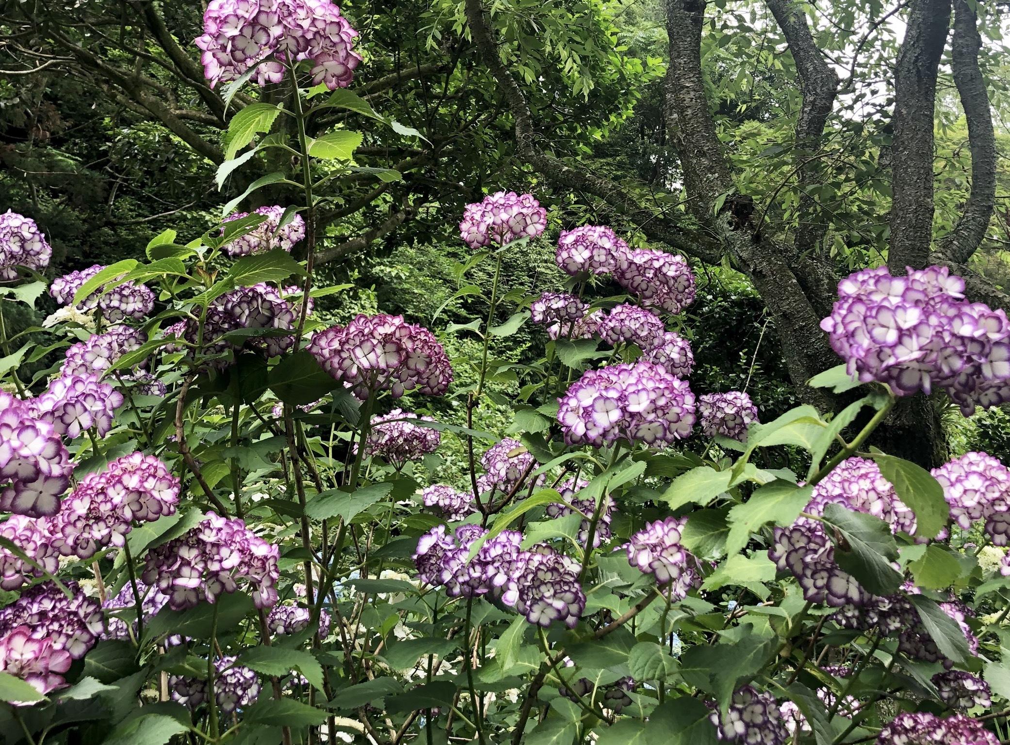 紫陽花ならここ!!関東のオオスメスポット☺︎_1_1-2