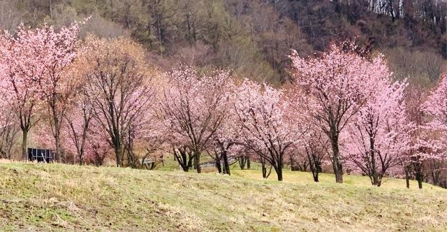 福島県でおすすめの『桜の名所』①_1_2