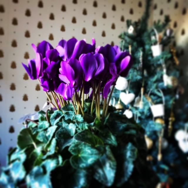 寒い冬の間はブルーシクラメンを楽しんで♪_1_1