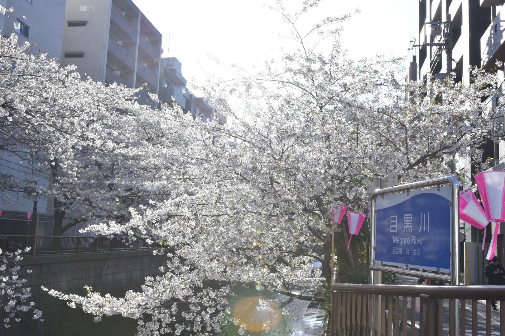 Vol.71♡【2019】目黒川の桜・お花見情報_1_1