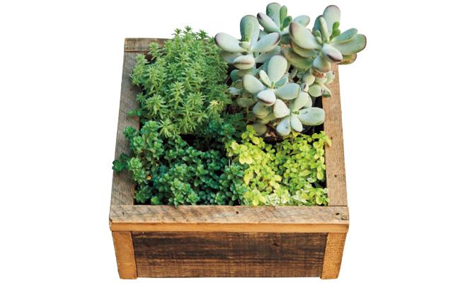 セダムの寄せ植えを木箱に。セダム¥660〜、木箱¥1,650