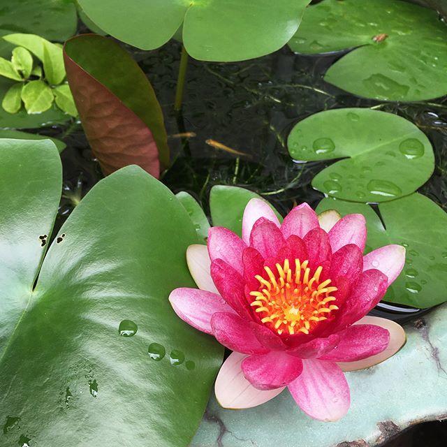 睡蓮と「壺庭」が楽しい季節になりました。_1_1