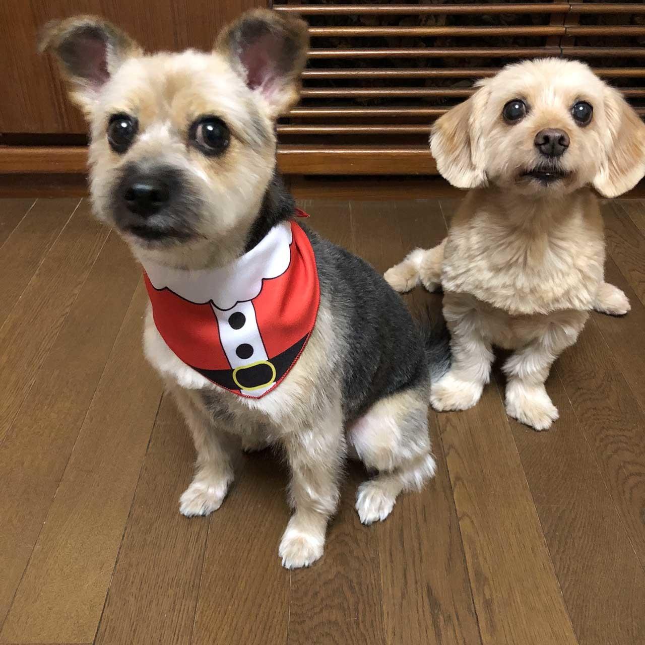サンタクロースのチーフを巻いた保護犬のケイトとポール