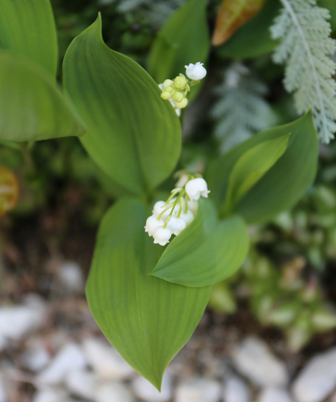 お庭のお花が満開・グリーンも綺麗!_1_3-2