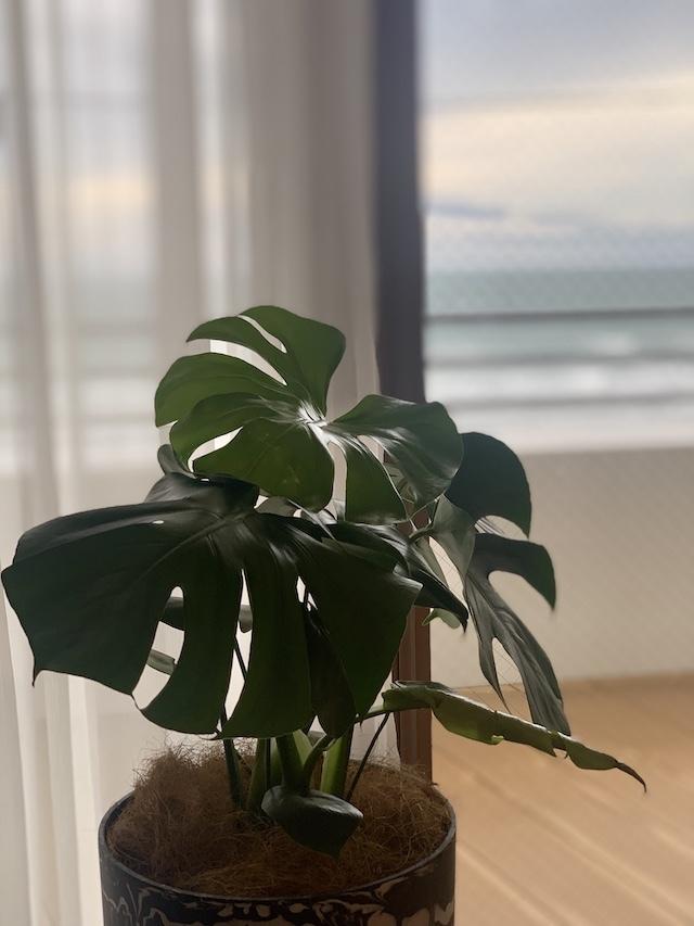 モンステラ 観葉植物 海辺の暮らし デュアルライフ
