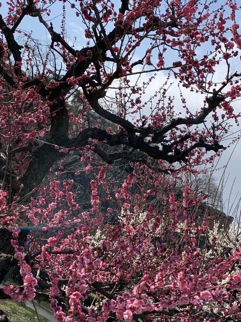大阪城公園の梅林と至福のイチゴパルフェ_1_1-2