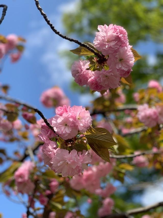 桜 花見 お花見 八重桜