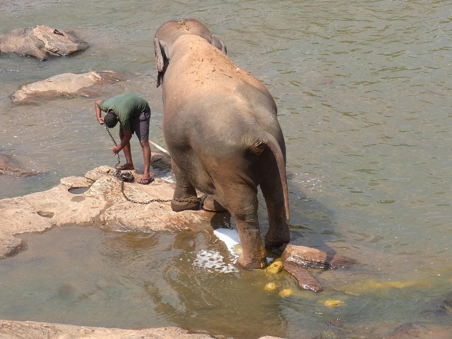 ピンナワラの象の孤児院@スリランカ_1_5