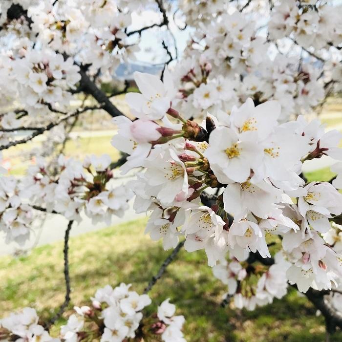 京都『桜』便り_1_2