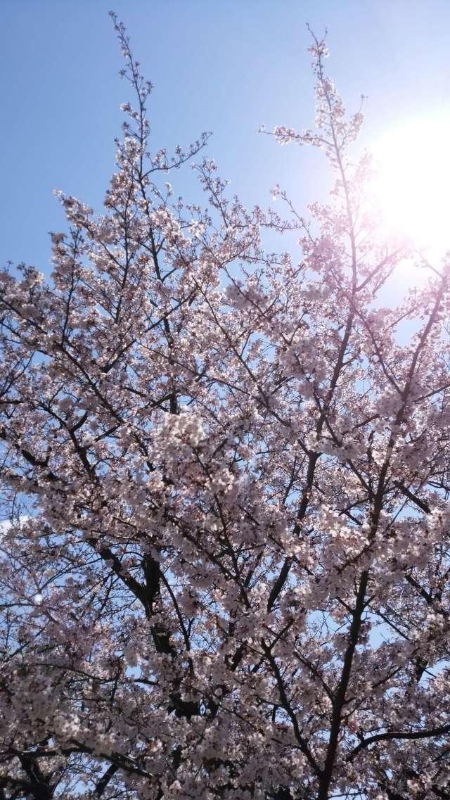 桜の綺麗なこの季節は_1_2
