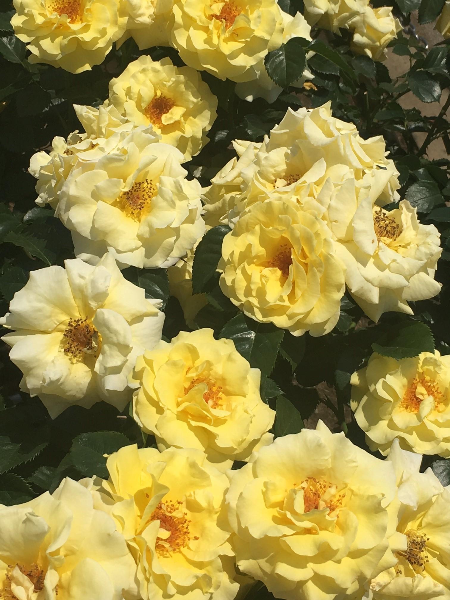 神代植物公園でバラ鑑賞_1_3
