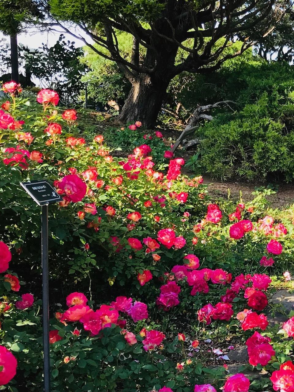 港が見える丘公園☀︎〜英国風庭園◎華やかな薔薇たち_1_3