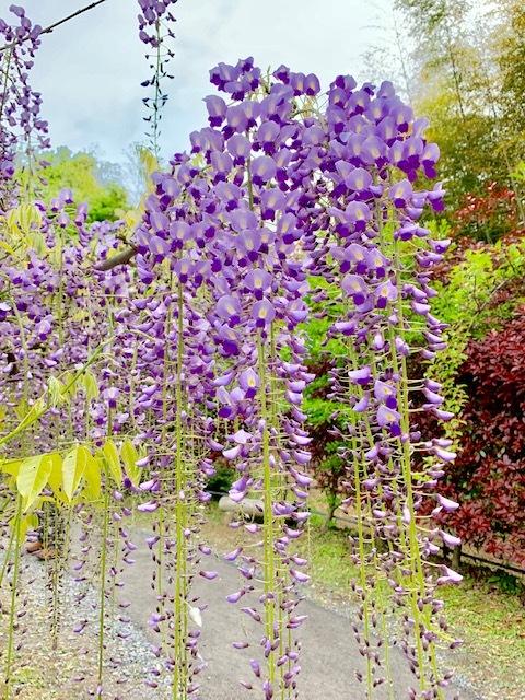 ☆「令和」元年☆藤の花のお花見でスタート!_1_1