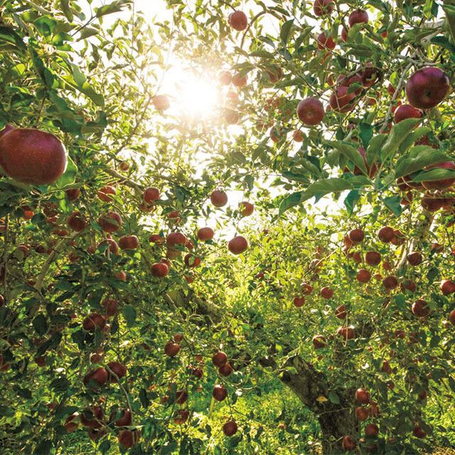 信州りんごのおいしさが香る『アップル&ローゼス』のタルトケーキ
