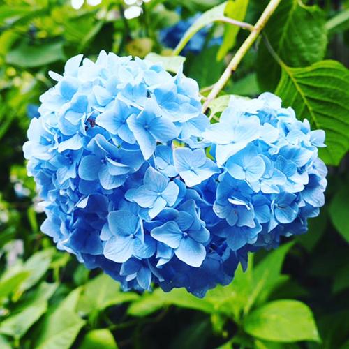 紫陽花を愛でる_1_1