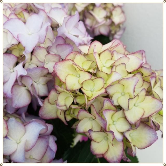 また今年も紫陽花の季節がやって来ました♪_1_2