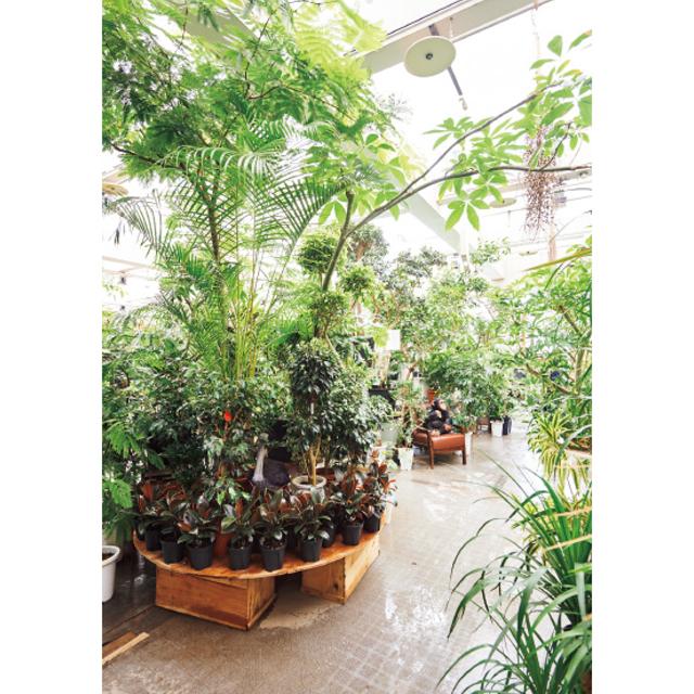 人気の観葉植物はウンベラータ、エバーフレッシュ、フィカスアルテシマ