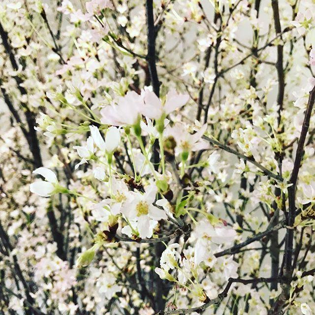1月の東京で桜を観られるなんて?_1_1-1