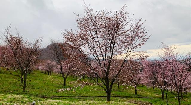 福島県でおすすめの『桜の名所』①_1_5-1