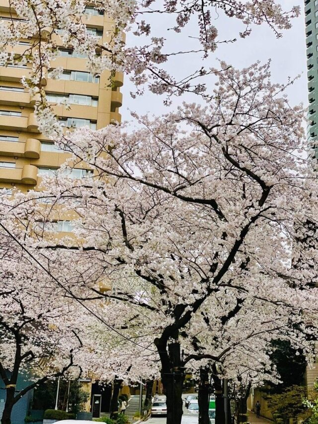 春を感じる白ワンピースでお花見ランチへ_1_4
