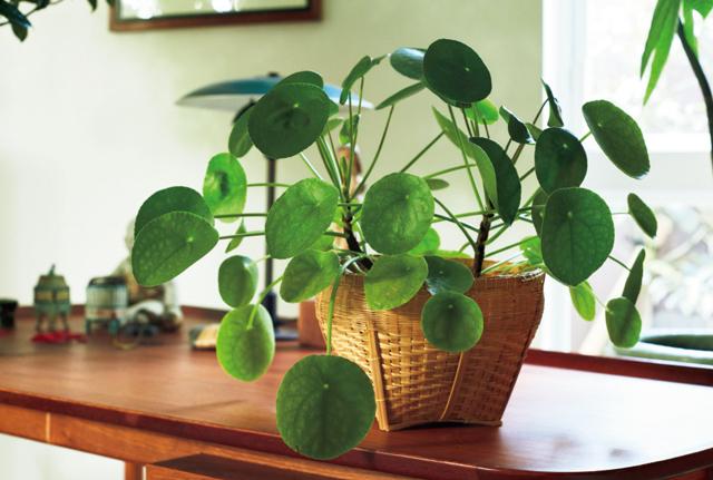 まん丸の葉がかわいらしいかれんさんお気に入りの観葉植物