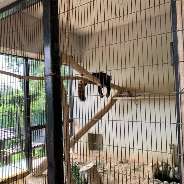 西山公園 レッサーパンダ