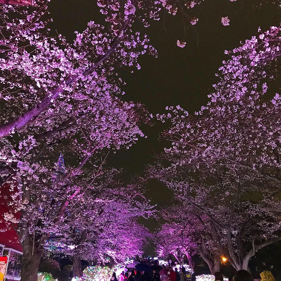 【急げ!】夜桜とイルミネーションを同時に楽しめるおすすめデートスポット ❤︎_1_3-2