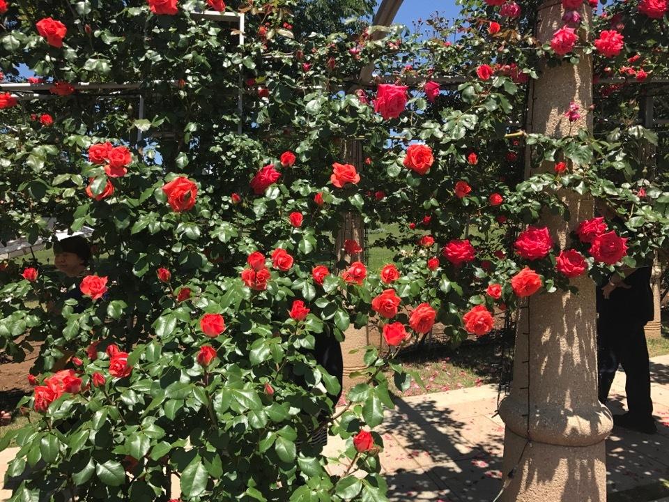 rose_1_3