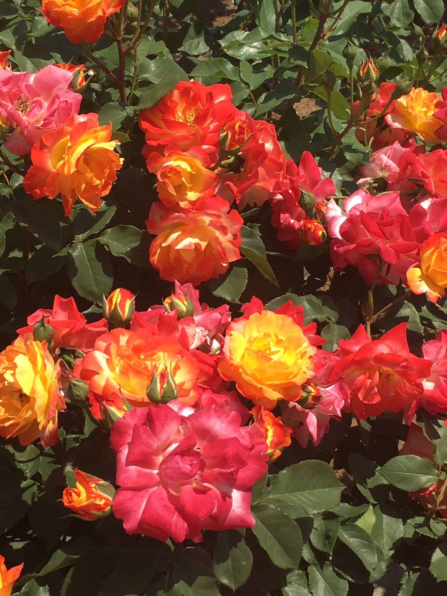 神代植物公園でバラ鑑賞_1_1