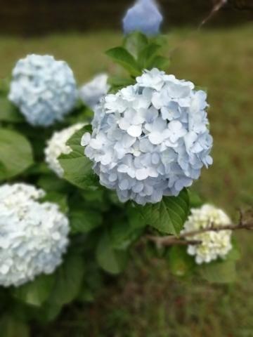 マンションの一角にひっそりと咲くアジサイ