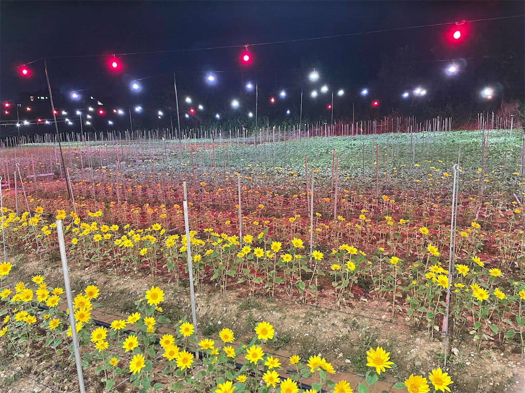 仕事終わりに、沖縄の電照菊を見学
