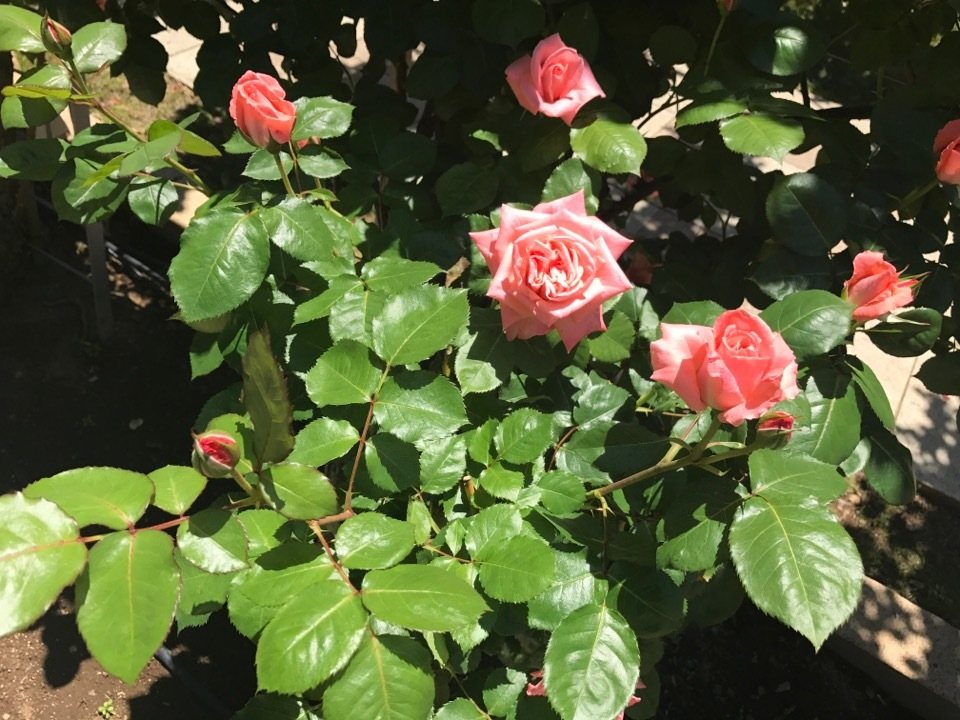 rose_1_2