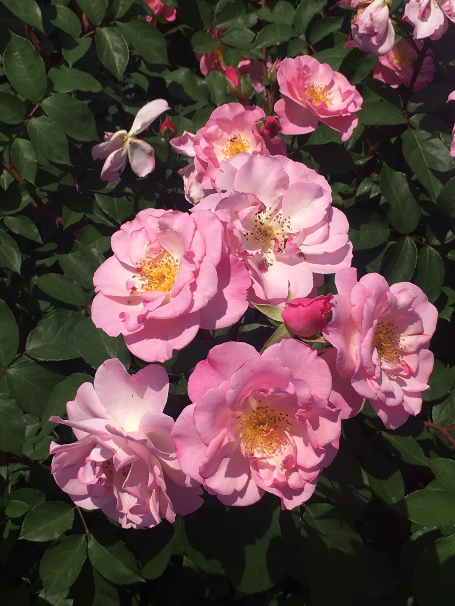 神代植物公園でバラ鑑賞_1_5