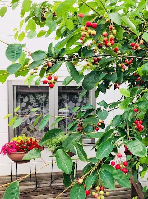 お庭の『ジューンベリーの実』*収穫してジャムに_1_1