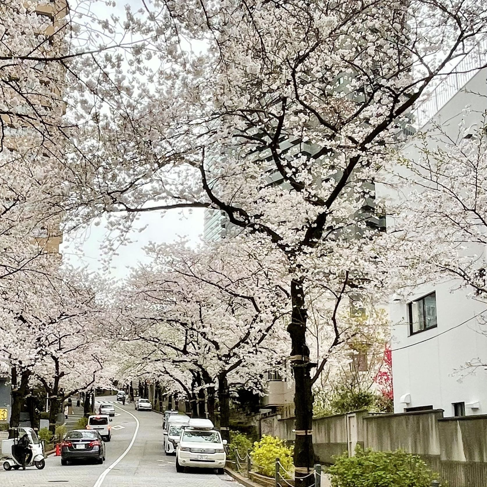 六本木一丁目付近のアークヒルズの桜並木
