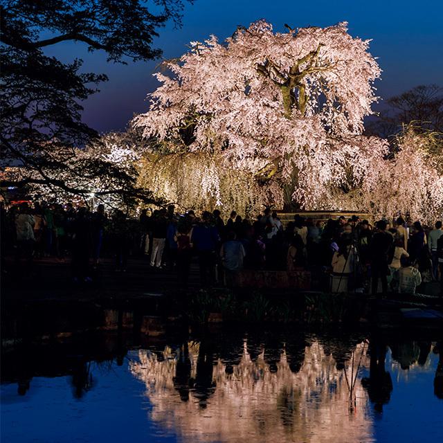 """一生に一度は愛でたい、京都の""""名桜""""【「京都」桜にまつわる10の愉しみ】_1_2-1"""