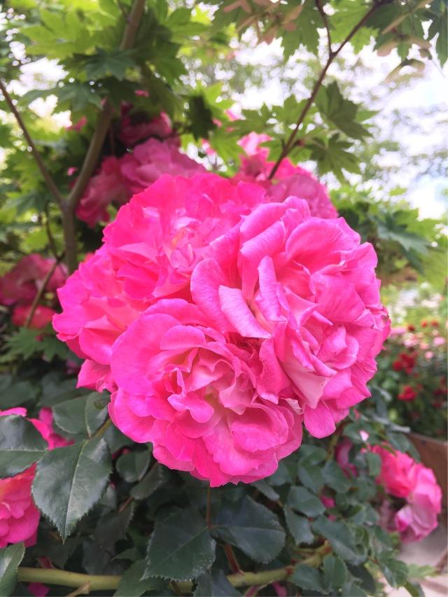 薔薇の季節_1_4