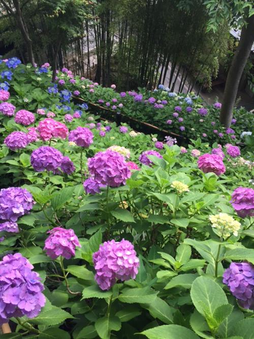 紫陽花を愛でる その2_1_2-2
