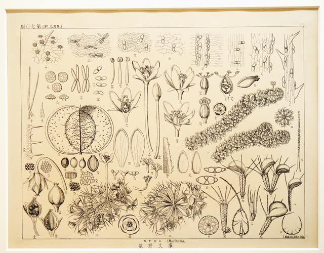 牧野富太郎が描いた植物図